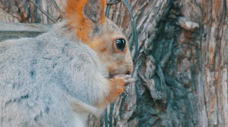 wiewiórka : A small gray squirrel with a red tail and ears eats nuts on a wood background close up view