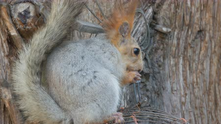 drápy : A small gray squirrel with a red tail and ears eats nuts on a wood background