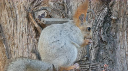 no hands : A small gray squirrel with a red tail and ears eats nuts on a wood background close up view