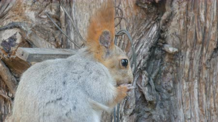drápy : A small gray squirrel with a red tail and ears eats nuts on a wood background close up view