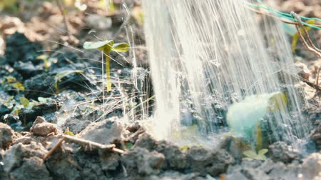 земля : Germ of a newly grown plant in the ground that is watered with watering cans. . Water is absorbed into the soil