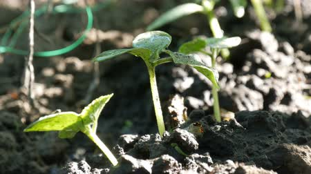 mistura : Young sprouts just germinated cucumber plants in a soil close up view