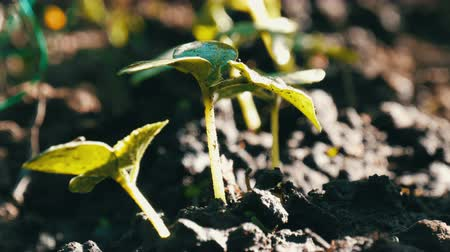 садовник : Young sprouts just germinated cucumber plants in a soil close up view