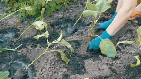 eggplant : Female hands in blue gloves planting a seedlings of eggplant with root Stock Footage