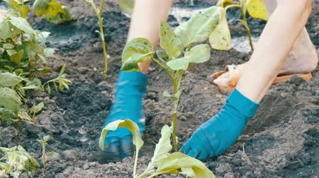 beringela : Female hands in blue gloves planting a seedlings of eggplant with root Stock Footage