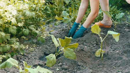 muck : Female hands in a blue gloves planting aubergine