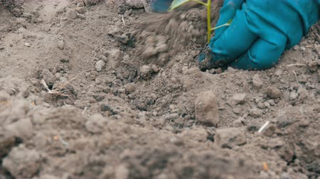 seedlings : Woman digs into the ground a green procession of sweet Bulgarian pepper Stock Footage