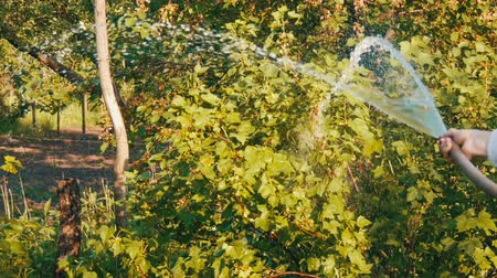seeding : Woman watering from a hose a plant in her own garden