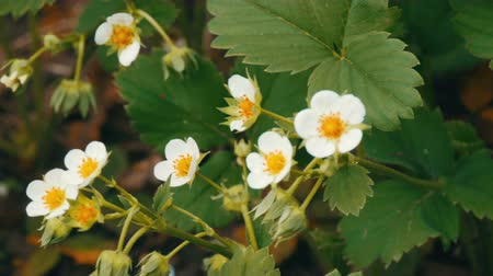 blooming time lapse : First small white strawberry flowers in the garden. Bush blooming strawberry close up view Stock Footage