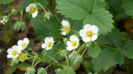 тычинка : First small white strawberry flowers in the garden. Bush blooming strawberry close up view Стоковые видеозаписи