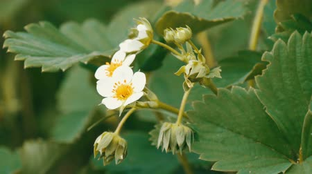 fragrances : First small white strawberry flowers in the garden. Bush blooming strawberry close up view Stock Footage