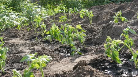 para : Plantation of a young, freshly planted tomato shoots