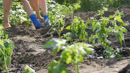 hajtások : Female hands dig into the ground young tomato plant. Tomato plantation