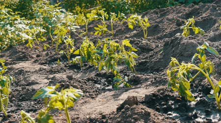 hajtások : Plantation of a young, freshly planted tomato shoots