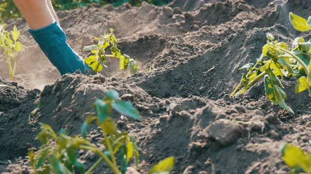 新芽 : Female hands dig into the ground young tomato plant. Tomato plantation