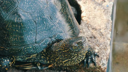 mortality : Large black turtle sits in a park near an artificial pond