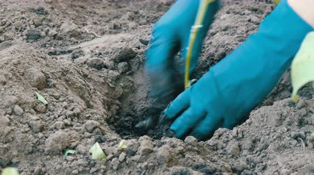 росток : Female hands in blue gloves planting a seedlings of eggplant with root Стоковые видеозаписи