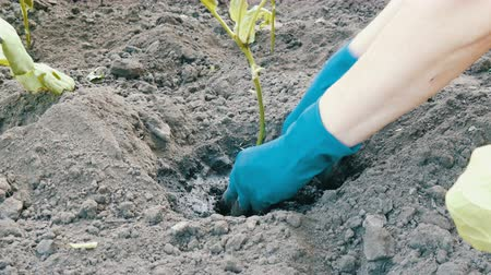 zahradník : Female hands in a blue gloves planting aubergine
