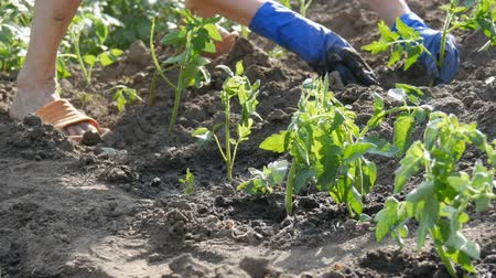 picado : A woman sits in the ground and is buried by young green plants of tomatoes just planted in the ground stand in the sun in the garden Stock Footage