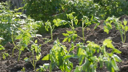 sempre viva : Young green tomatoes are only planted in the ground and stand in the garden Vídeos