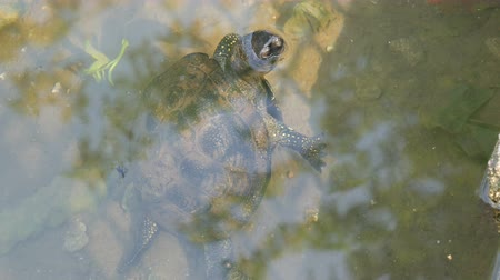 hatch : Turtle stuck her head out of the water. Turtle in the park in an artificial pond