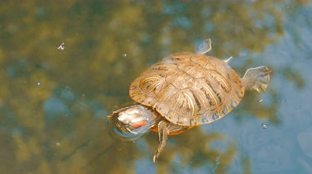 hatch : Red-bellied turtle swim in pond with other turtles