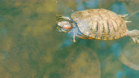 obojživelník : Turtle stuck her head out of the water. Turtle in the park in an artificial pond