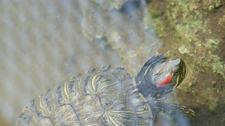 mortality : Red-bellied turtle swim in pond with other turtles close up view Stock Footage