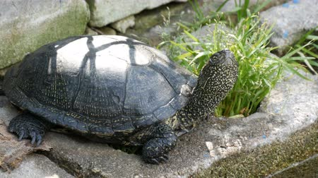 kétéltű : Large black turtle sits in a park Stock mozgókép