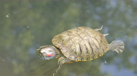 mortality : Red-bellied turtle swim in pond with other turtles