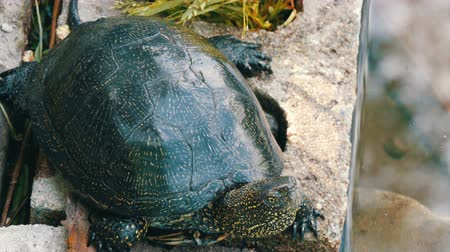 hatch : Large black turtle sits in a park Stock Footage