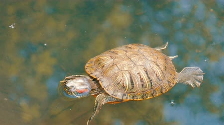 утки : Red-bellied turtle swim in pond with other turtles