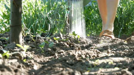 muck : Woman watering young plant sprouts in the garden, water jets from the watering can flow to the soil Stock Footage