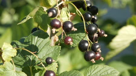 ovocný : Ripe black currant berries hang on a bush in the garden