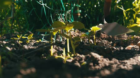 cherish : Cucumber sprouts in the ground, the woman weeds the ground next to plant Stock Footage