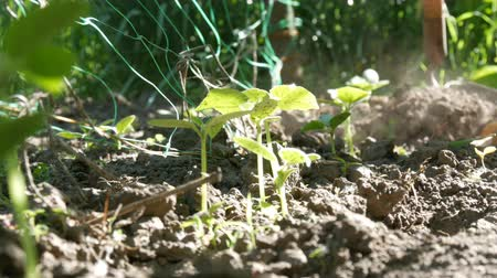 meşe palamudu : Cucumber sprouts in the ground, the woman weeds the ground next to plant Stok Video