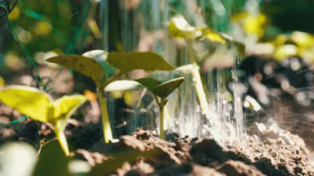 seedlings : Close-up shot of watering cucumber sprout. Drops falling on the plant. Farming and agriculture Stock Footage