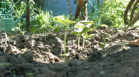 žalud : Cucumber sprouts in the ground, the woman weeds the ground next to plant Dostupné videozáznamy