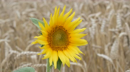 flowers oil : Lonely young sunflower in wheat field against a background of wheat spikes