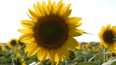 plain : Big beautiful sunflowers in the summer field close up view Stock Footage