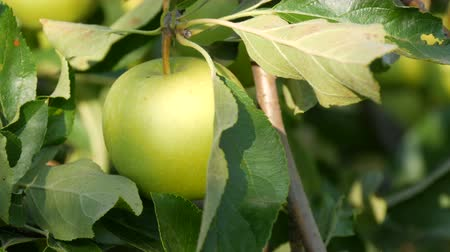 mellow autumn : Ripe green apple hanging on branch in the garden