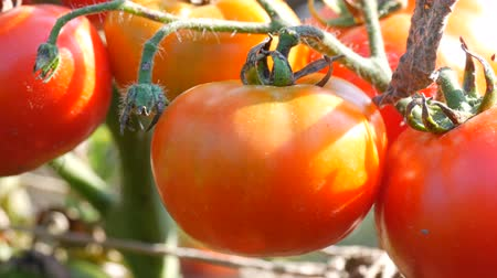 picked up : Ripe tomato fruit on the plant. Harvest of tomatoes in a garden Stock Footage