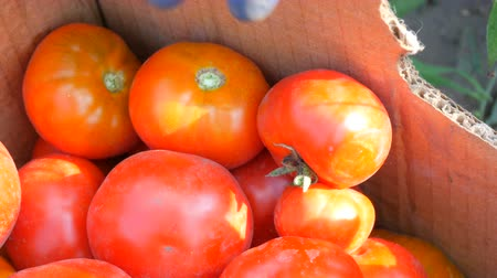 picked up : A large delicious harvest of tomatoes that are collected lie in a cardboard box near the view. Female hand throws tomatoes into a box Stock Footage