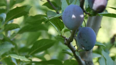 ripen : Ripe fruits Blue plums hang on tree branch Stock Footage