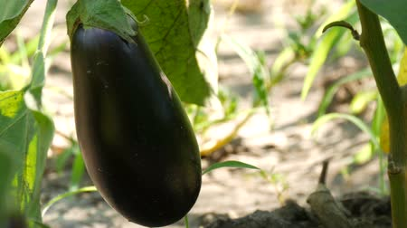 coletando : Fruit of ripe eggplant grows on bush in the garden Stock Footage