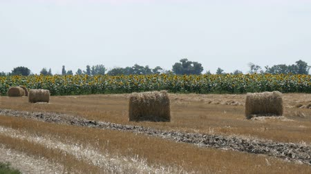 hay pile : Accurately stacked sheaves of straw lie on the ground against the background of a field of sunflowers