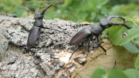 stag beetle : Two big deer beetles Lucanus cervus creep along tree. Rare beetles in the forest Stock Footage