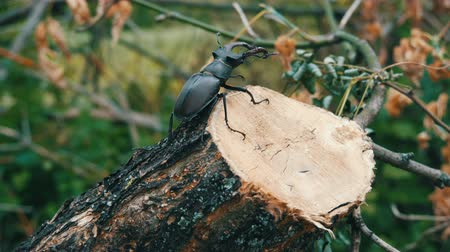 two forces : Large beetle Lucanus cervus creeps along the bark of tree.