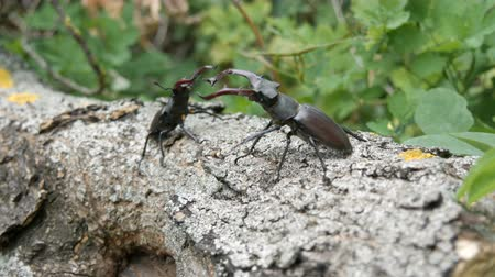 two forces : Two big deer beetles Lucanus cervus creep along tree. Rare beetles in the forest Stock Footage