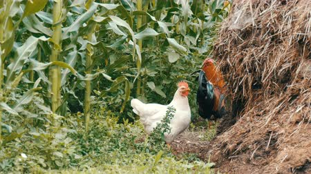 fiatal kis kakas : Variety of chickens and roosters run around in the vegetable garden in the village near the compost pile Stock mozgókép